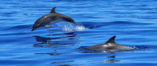 p delfin