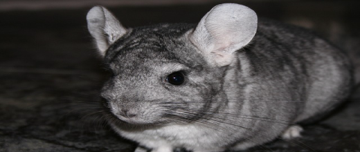 p rn las chinchillas